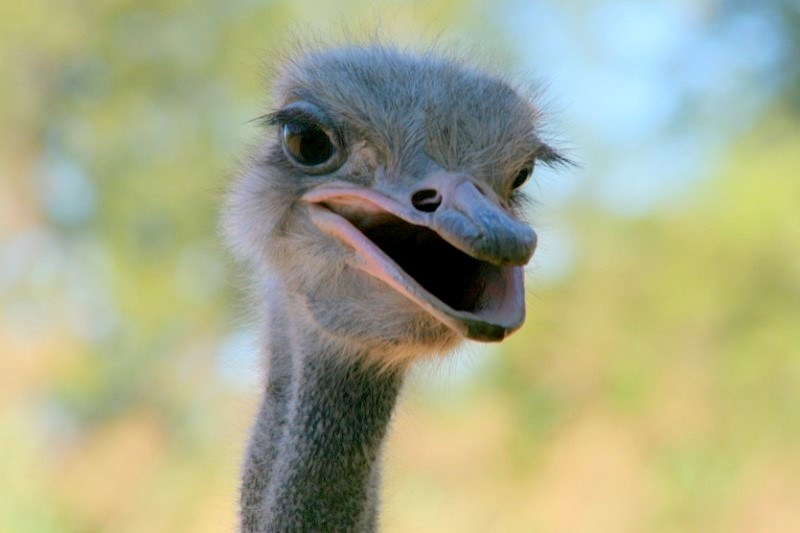 struisvogel-Oostkaap-Zuid-Afrika-rondreis